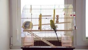 Budgerigar in bird cage. stock video