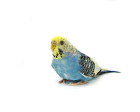Budgerigar bird Stock Photography
