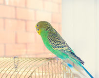 Budgerigar Stock Images
