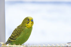 Budgerigar on the birdcage. Stock Images