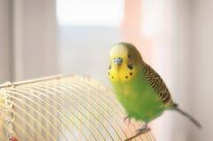 Budgerigar on the birdcage. Budgie Royalty Free Stock Photos
