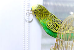 Budgerigar on the birdcage. Budgie. Stock Images