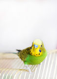 Budgerigar on birdcage. Budgy Stock Photo