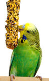Budgerigar with birdseed Stock Photo