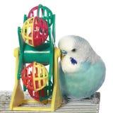 Budgerigar bleu sur une cage Photographie stock libre de droits