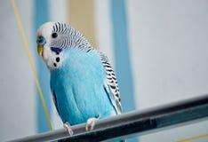 The budgerigar. The blue budgerigar (Melopsittacus undulatus Royalty Free Stock Image