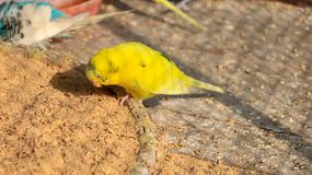 Budgerigar or budgie royalty free stock images