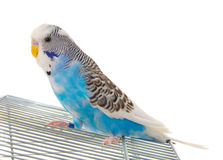 Budgerigar on cage Stock Photos