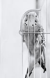 Budgerigar in cage. B&W Royalty Free Stock Photo