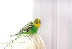 Budgerigar on cage Royalty Free Stock Images