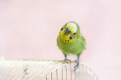Budgerigar on the cage. Budgie Stock Image
