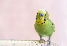 Budgerigar on the cage. Budgie Stock Images