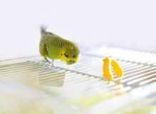 Budgerigar on the cage. Budgie Royalty Free Stock Photos