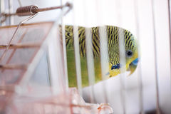 Budgerigar in the cage. Budgie Royalty Free Stock Photos