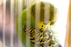 Budgerigar in the cage. Budgie Royalty Free Stock Photo