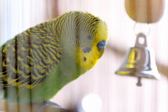 Budgerigar in the cage. Budgie Royalty Free Stock Images
