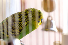 Budgerigar in the cage. Budgie Stock Images