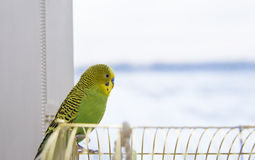 Budgerigar on the cage. Budgie Stock Photos