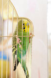 Budgerigar in cage Stock Photo