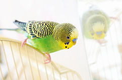 Budgerigar on cage Stock Image