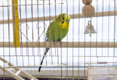 Budgerigar in the cage. Royalty Free Stock Photos