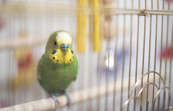 Budgerigar in cage. Soft focus. Stock Photo