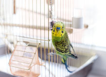 Budgerigar close up on the bird cage. Budgie and bell Stock Photos