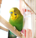 Budgerigar close up in the birdcage. Royalty Free Stock Images