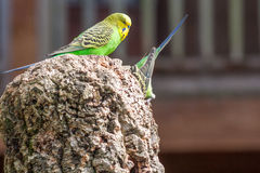Budgerigar couple Stock Photography