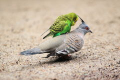 Budgerigar on crested pigeon Royalty Free Stock Photography
