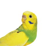 Budgerigar d'isolement sur le blanc Photographie stock libre de droits