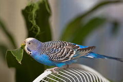 Budgerigar eating. Blue parrot sitting on a cage eats green leaf Royalty Free Stock Images