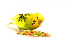 Budgerigar eating mixed seed. Budgerigar with birdseed, isolated on a white background stock image
