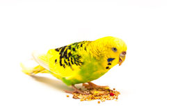 Budgerigar eating mixed seed. Budgerigar with birdseed, isolated on a white background Royalty Free Stock Photography