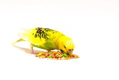 Budgerigar eating mixed seed. Budgerigar with birdseed, isolated on a white background Stock Images