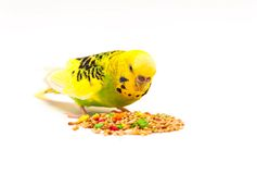 Budgerigar eating mixed seed. Budgerigar with birdseed, isolated on a white background royalty free stock image