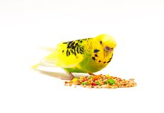 Budgerigar eating mixed seed. Budgerigar with birdseed, isolated on a white background stock photography