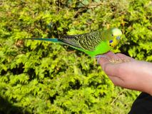 Budgerigar eats grains from the hand Royalty Free Stock Images