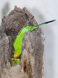 Budgerigar feeding young bird Royalty Free Stock Image