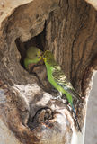 Budgerigar Royalty Free Stock Image