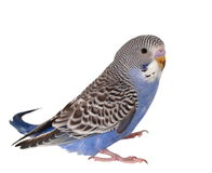 Budgerigar  isolated on white Stock Images