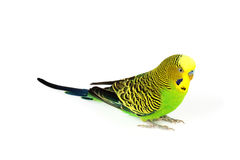 Budgerigar isolated on white background Royalty Free Stock Images