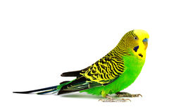 Budgerigar isolated on white background Royalty Free Stock Photos