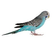 Budgerigar isolated on white Stock Photo