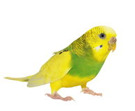 Budgerigar isolated on white Royalty Free Stock Image