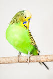 The budgerigar (Melopsittacus undulatus) Stock Photos