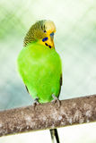 The budgerigar (Melopsittacus undulatus) Stock Images