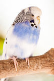 The budgerigar Melopsittacus undulatus Royalty Free Stock Photography