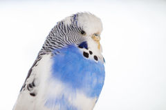 The budgerigar Melopsittacus undulatus Stock Photos