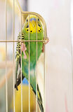 Budgerigar Stock Photos